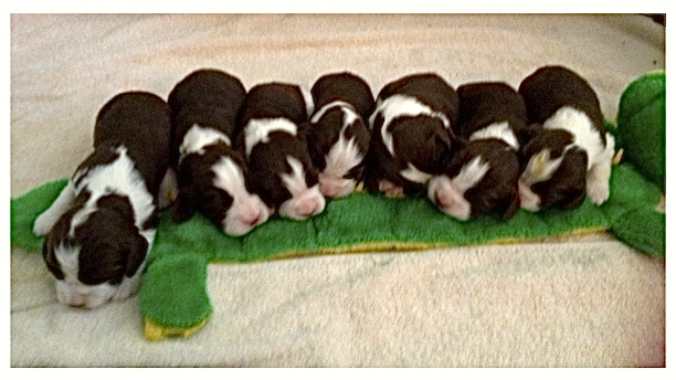 Frankie/Vickie Litter 8-7-14  SOLD